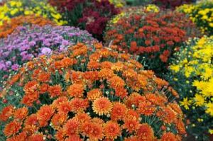 Master Gardener: Decorating With Fall Plants @ ZOOM